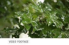 Maple leaves. Rain. Clip 2.