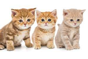 Group of British young kittens