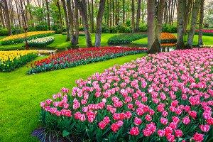 Colorful flowers in Keukenhof park