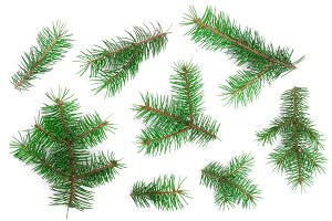Fir tree branch isolated on white background. Christmas background. Top view