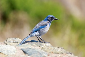 California Scrub-Jay Perched on Rock