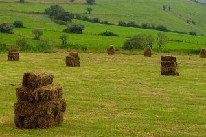 Straw bales en the field