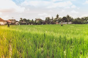 Landscape view of rice field on a tropical island of Bali, Indonesia. Asian organic rice.