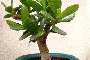 Little jade plant on ceramic pot