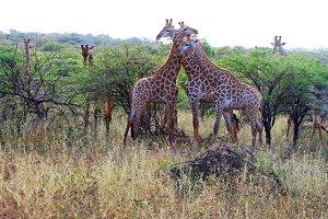Giraffes, Africa