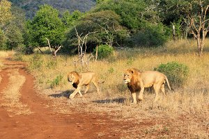 Wild lions on savannah, Africa