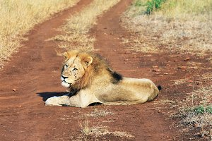 Wild lion on savannah, Africa