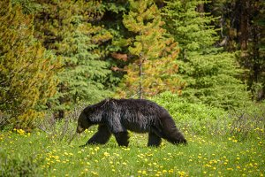 Black Bear in forests of Banff and Jasper National Park, Canada