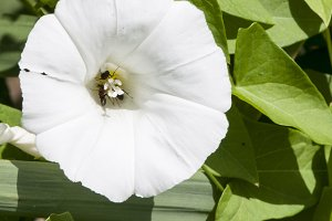 flower color white