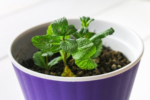 A sprig of peppermint in a purple pot with the ground took root on a white wooden table.