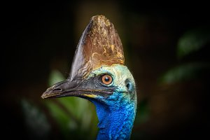 Portrait of Southern cassowary