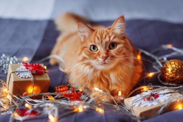 Cute ginger Christmas cat