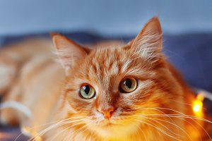 Cute ginger New Year cat