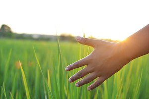 Young hand touch green rice on field