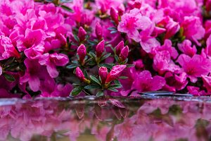 Pink blossoming flowers reflection