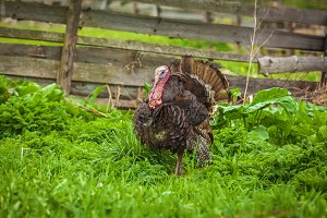 Home turkey in the garden