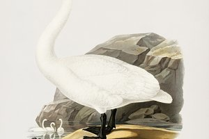 Illustration of swan (PSD)