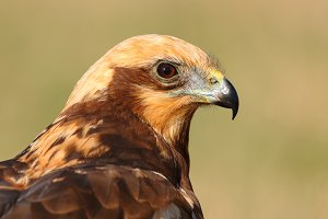 detailed head of a marsh harrier