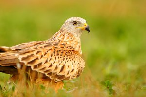 beautiful red kite bird