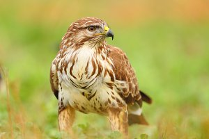 Portrait of a common buzzard bird