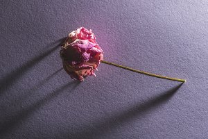 Withered flower on violete backgroun