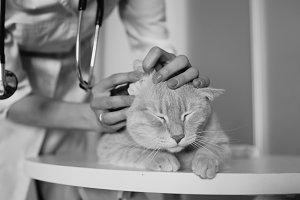 Closeup of Veterinarian woman with stethoscope examining cat in medical vet office