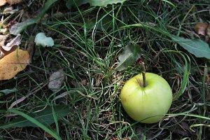 Little green apple on ground grass