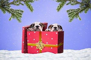 Cute puppies in a gift box