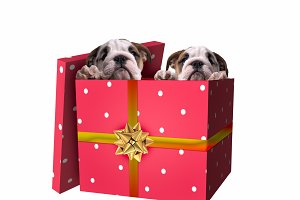 Cute puppies in red gift box