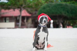Dog in Santa hat at the beach