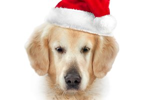 Golden retriever in Santa's hat