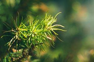Spruce tree needles macro shot