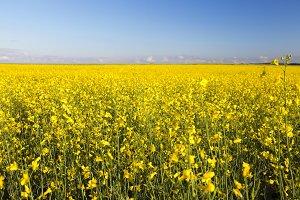 yellow flower rape