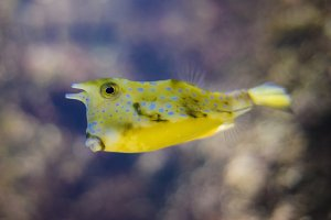 Yellow cow fish