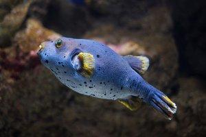 Puffer fish (Tetraodontidae).