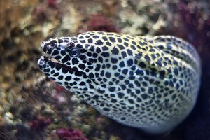 Close up view of a moray fish.
