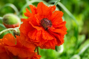 Red poppy blooming on field