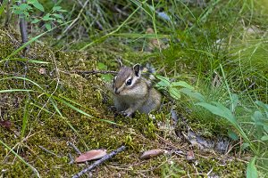 Asian Siberian chipmunk