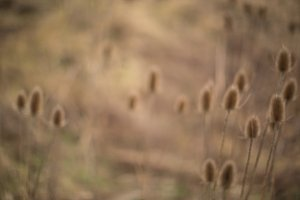 Blurred Field of Reeds