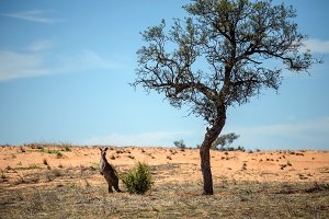 Kangaroo in Mungo National Park, Australia