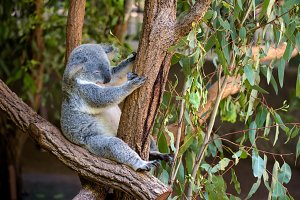 Sleeping koala on eucalyptus tree in Australia