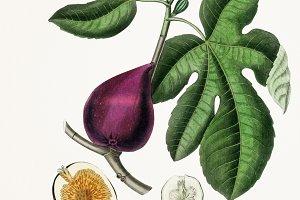 Fig illustration (PSD)