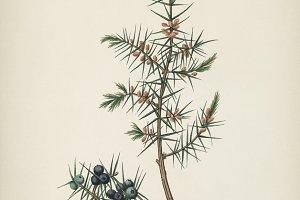 Common juniper illustration(PSD)