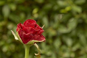 Red roses decorated in the back gard