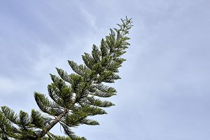 Tall pine tree in a blur background