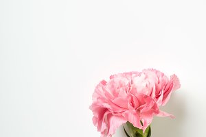 Pink carnation flower on white backg