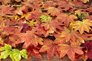 Autumn maple leafs on white backgrou