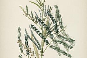 Illustration Medical Botany (PSD)