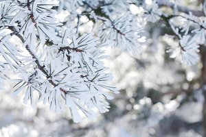 Frosty pine tree twigs