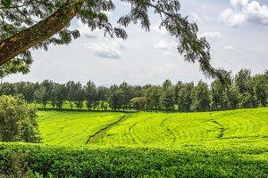 Tea plantation in Ethiopia